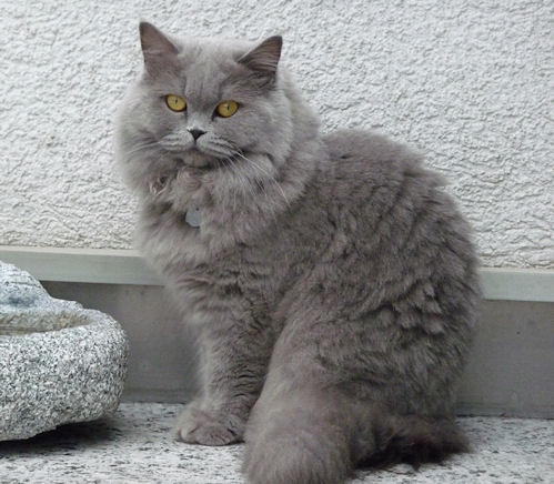 British Longhair Cat Info Kittens Temperament Care