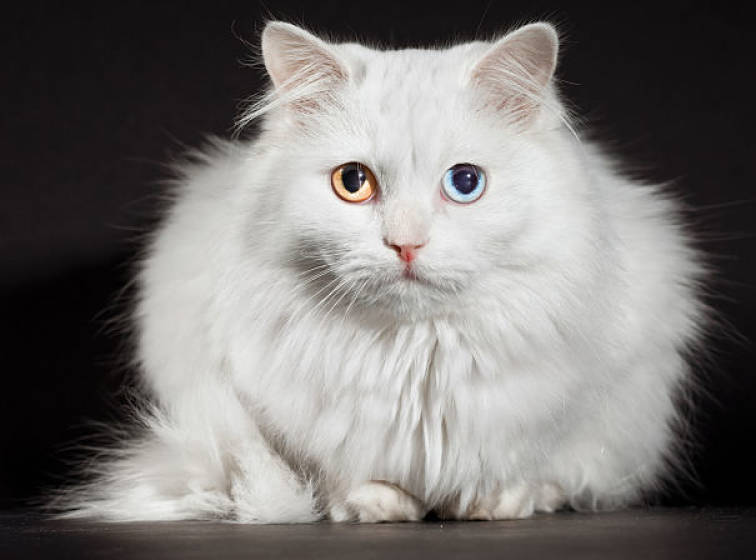 Soft Cat Food >> Turkish Angora Cat Info, Personality, Kittens, Pictures